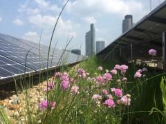 Green roof with PV in London, photo: GRÜNSTATTGRAU, Dusty Gedge